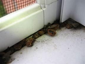 got a ladybug infestation here s what to do if ladybugs