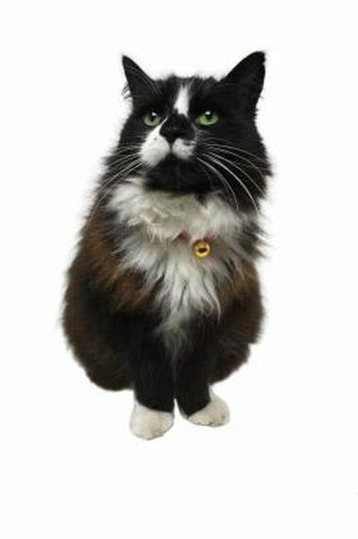 chronic pancreatitis  cats pets