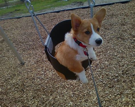 corgi in a swing picture of corgi dog breeds picture