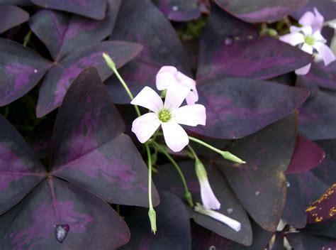 Purple Cover by Plant Profile Purple Shamrock Oxalis Triangularis