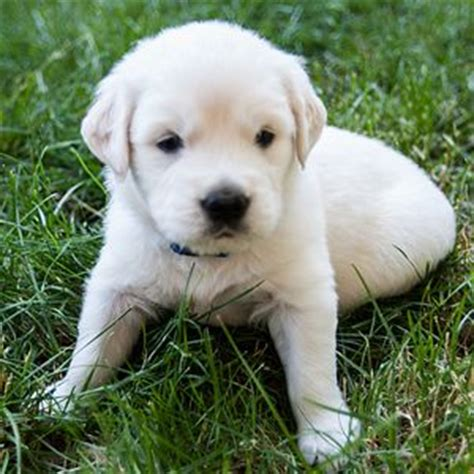 golden retriever puppies for sale in new york golden retriever puppies for sale connecticut