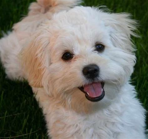 poodle mix with shih tzu shih tzu mix puppies looks just like sheldon m
