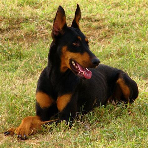 guard dogs top 10 breeds to use as guard dogs