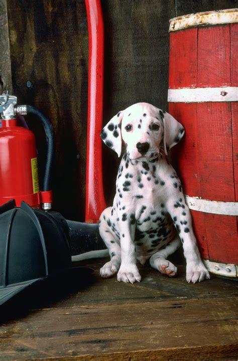dalmatian puppy price dalmatian puppy price