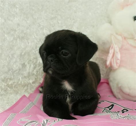 pug and pekingese pug pekingese mix breeds picture