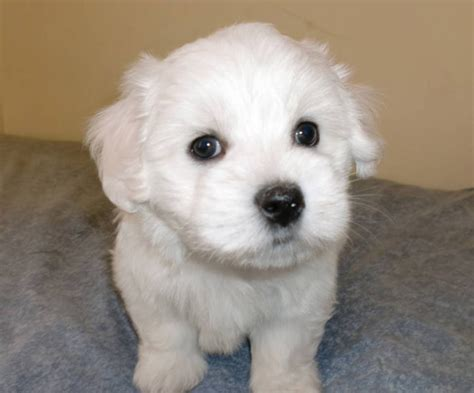 coton puppies available coton de tulear puppies now available for sale in hamilton ontario your pet for sale