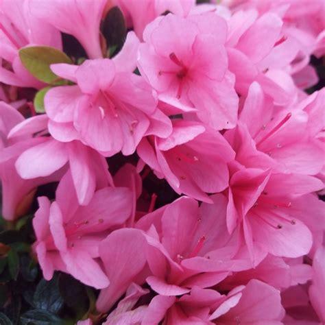 coltivare azalee in vaso come coltivare le azalee in vaso e in giardino le