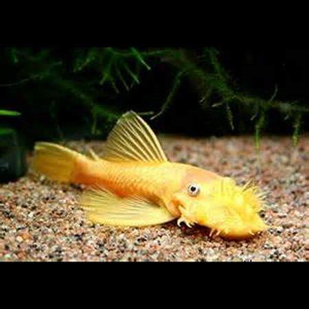 Poisson Aquarium Eau Chaude by Ancistrus Dor 233 02 3cm Poissons Eau Chaude Nettoyeurs