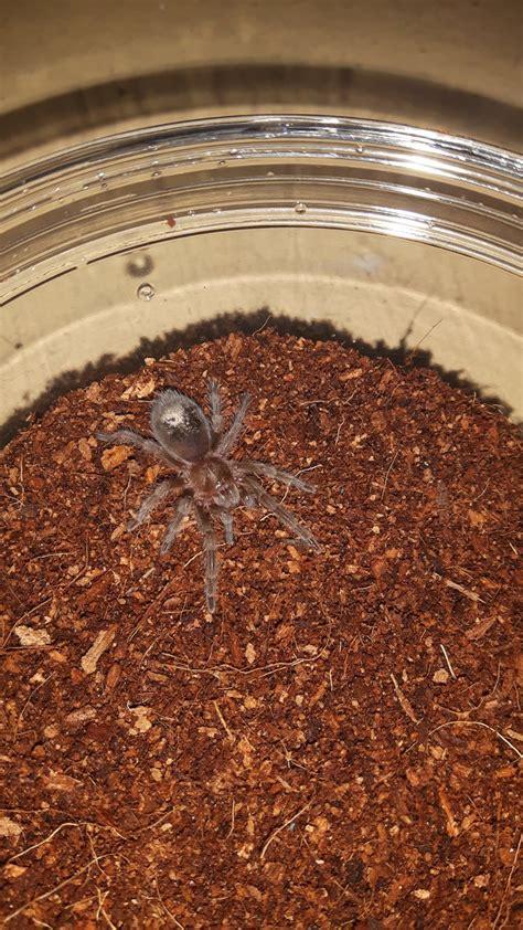 Sling G g pulchra sling arachnoboards