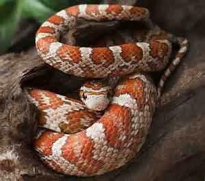 Corn Snake (Pantherophis guttatus)   Online Reptile Shop