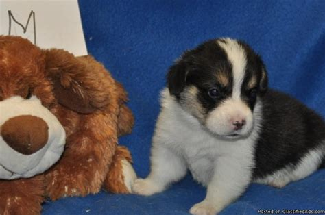 corgi price pembroke corgi pups price 500 for sale in newberry florida best pets