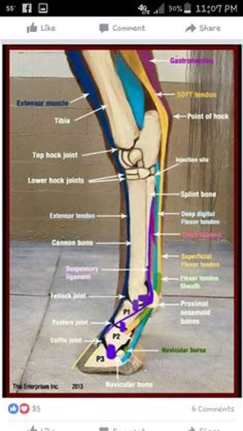 equine limb anatomy horse leg anatomy diagram home