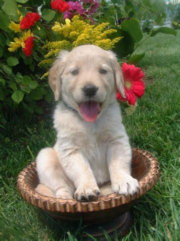 golden retriever rescue colorado puppies akc golden retriever puppies for sale adoption from loveland colorado larimer adpost