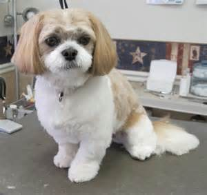 pictures of shih tzu haircuts shih tzu haircuts pictures dog breeds picture