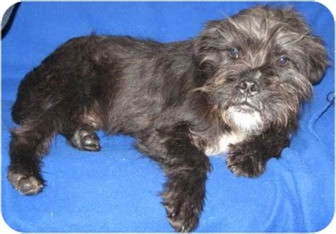 pug rescue south carolina frazier adopted puppy newberry sc pug miniature schnauzer mix