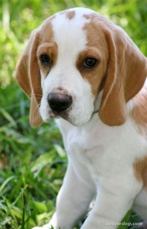 is lemon bad for dogs 44 best lemon beagles images on beagle puppy beagle and beagles