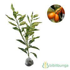 Tanaman Jeruk Keprok Mangse tanaman jeruk bali pomelo bibitbunga