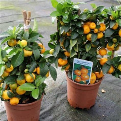 Harga Bibit Jagung Manis 1 Kg tanaman jeruk kalamansi calamondin bibitbunga