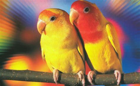 Multi Bird Pakan Burung Parrot lovebird dan tips perawatan burung bird babamz