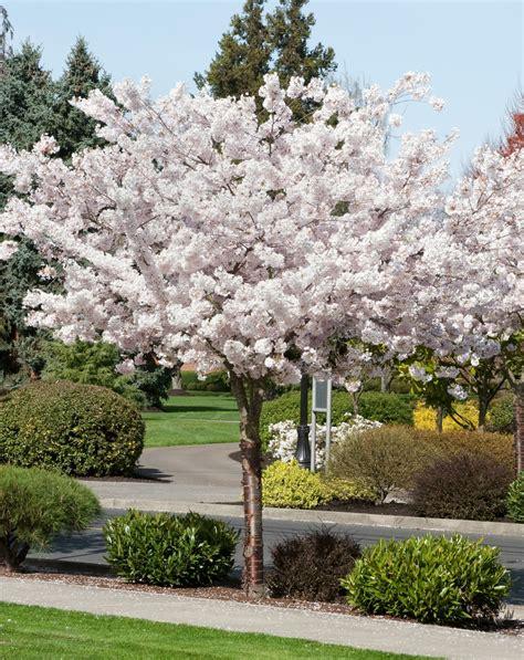 mt fuji cherry tree nz landscapes prunus serrulata shirotae mt fuji cherry tree
