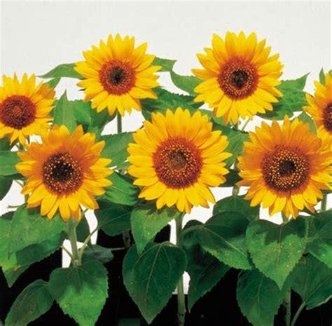 jual biji benih bunga matahari sunsmile  lapak allynda