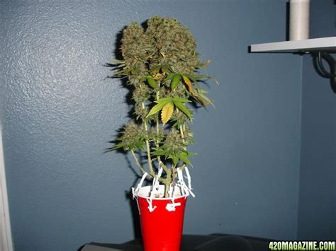 Grow Cup mj crescendos operation snowflake journal