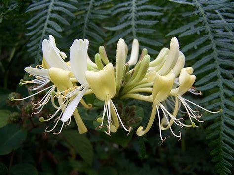 photo honeysuckle lonicera plant  image