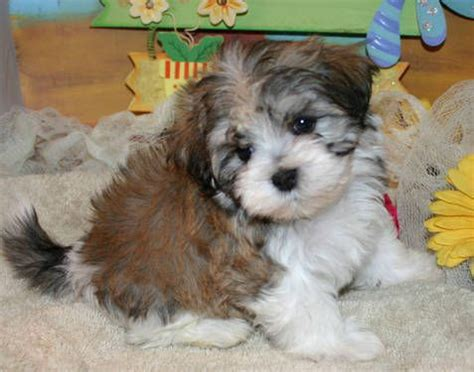 purebred havanese puppies for sale havanese puppies pets for sale and havanese dogs on