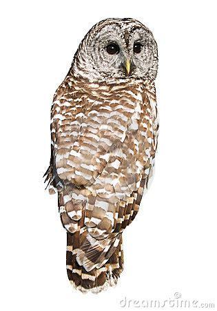 barred owl royalty  stock photo image