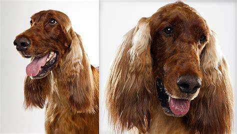 setter vs golden retriever golden retriever vs setter photo
