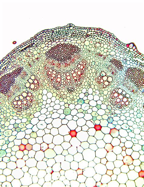 cross section of dicot stem dicot stem cross section sunflower helianthus low