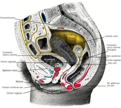 uterus bladder diagram pelvic anatomy wallpaper