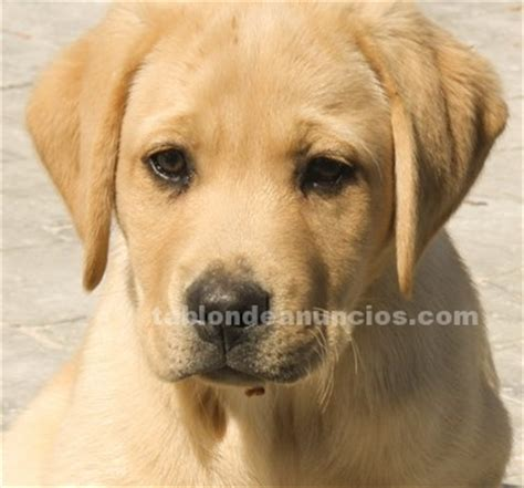 lab puppies ta tabl 211 n de anuncios 250 ltimo cachorro de labrador retriever dorado