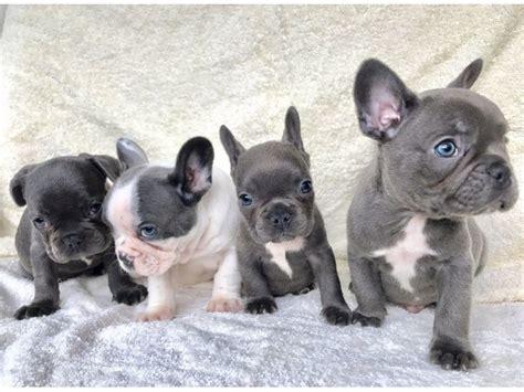 bulldog puppies 250 dollars blue bulldog puppies animals orlando florida announcement 88904