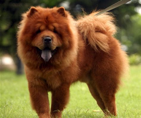 chow chow pictures of a chow dog on animal picture society