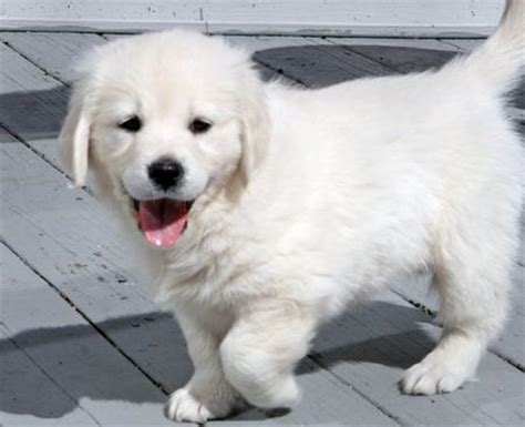 just born golden retriever puppies colbie the golden retriever puppies daily puppy