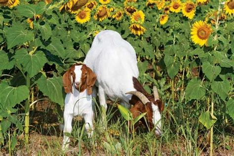 feeding black sunflower seeds to goats 18 best images about barnyard friends on baby goats the mid and