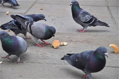 pigeons eat bread roll photos