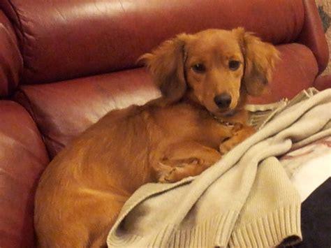 chihuahua weiner dachshund x chihuahua sidcup kent pets4homes