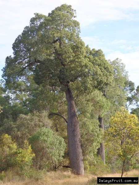 buy qld bottle tree brachychiton rupestris