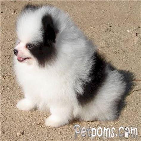 black and white pomeranian puppy pomeranian black and white