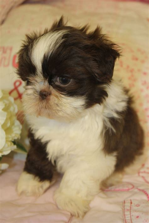 chocolate and white shih tzu chocolate and white shih tzu puppies orpington kent pets4homes