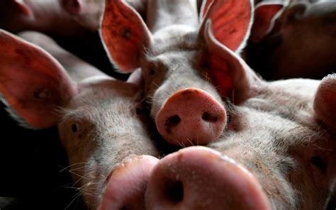 chinese factories struggle  african swine fever sends