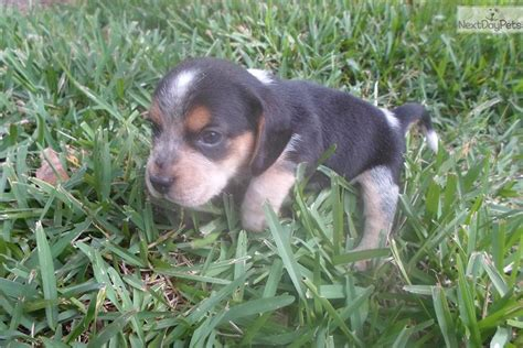blue tick beagle puppies for sale near me beagle puppy for sale near jacksonville florida 980e19db 3ad1