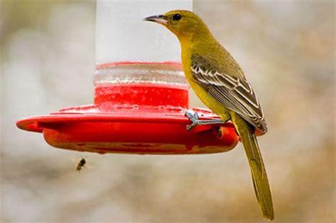 hooded oriole google search backyard birds pinterest