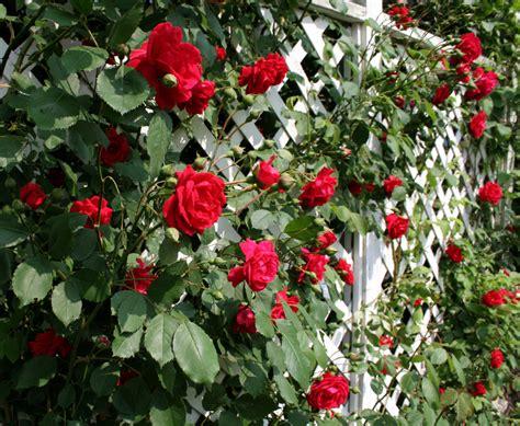 trellis roses using trellises to create unique and varied garden designs