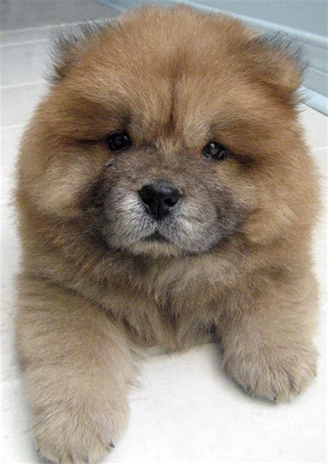 chow puppy doydoy the chow chow puppies daily puppy