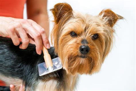 grooming a yorkie with clippers best cordless clippers for professional diy grooming results of 2018
