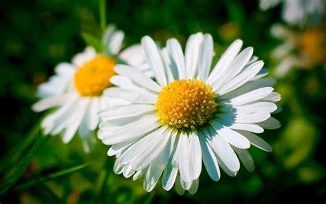 fiori margherita margherite fiori di piante come curare le margherite