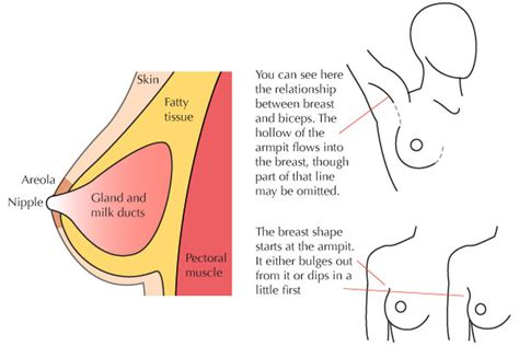 breast diagram drawing human anatomy fundamentals muscles and other mass